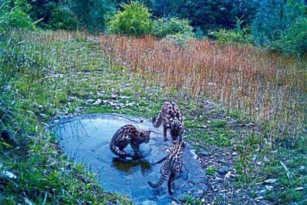 Tigers at the Jabarkhet Wildlife Reserve