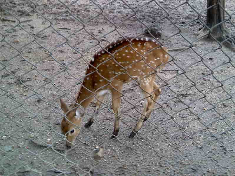 Deer at Maharajbagh Zoo