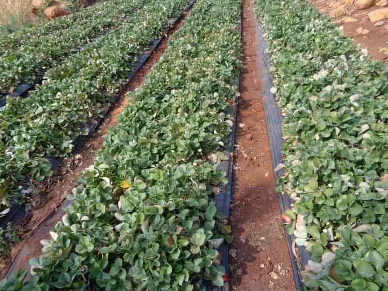 Laxmi Strawberry Farm