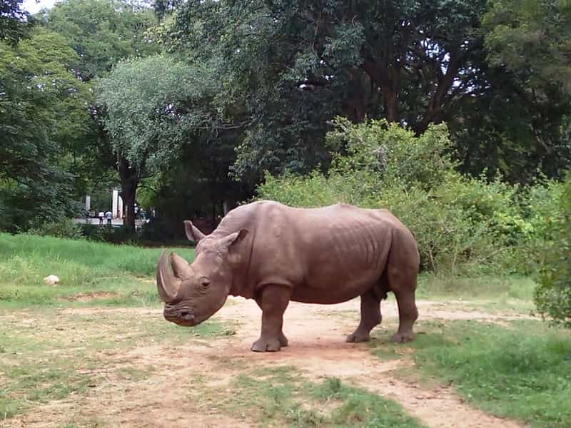 A Rhino at the Sri Chamarajendra Zoological Gardens