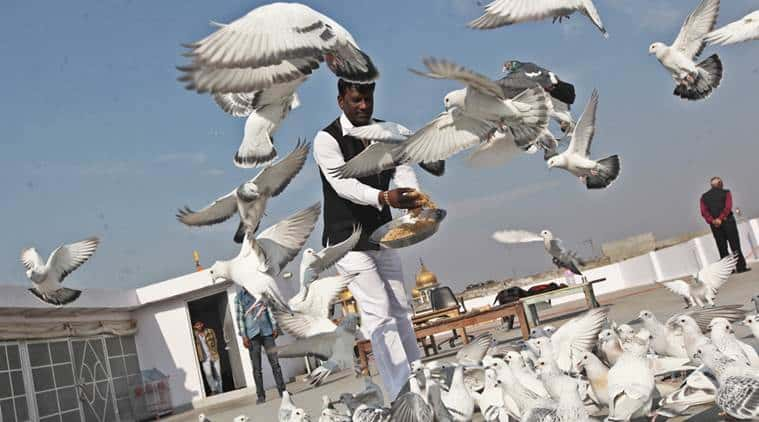 An organizer feeding the pigeons before a race
