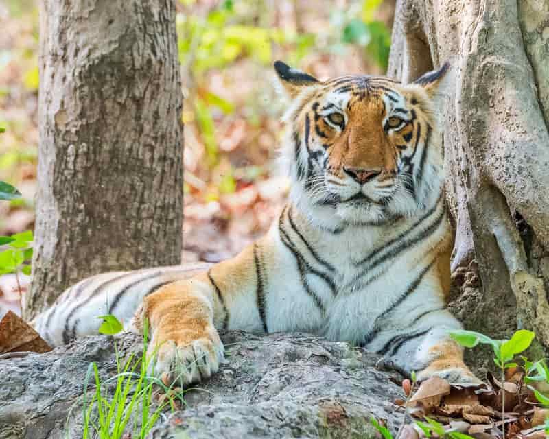 A Royal Bengal Tiger inside the Jim Corbett National Park