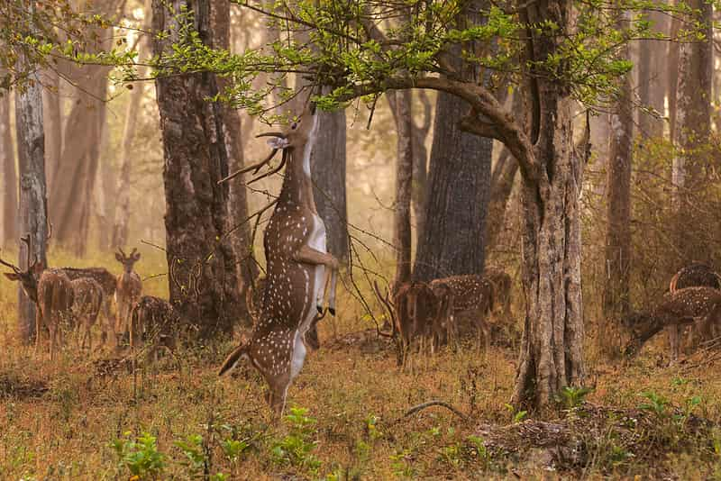 A Chital at the Kudremukh National Park