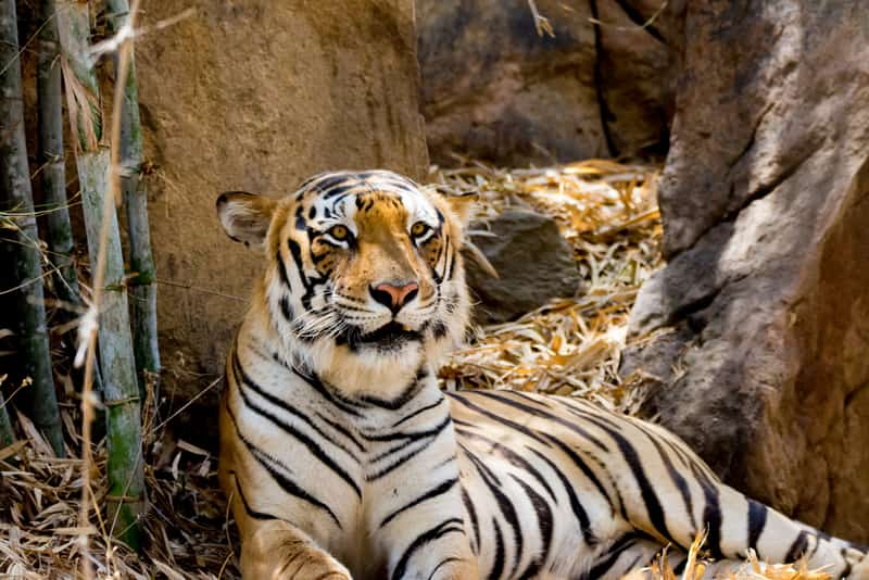 A tiger at the Bannerghatta National Park