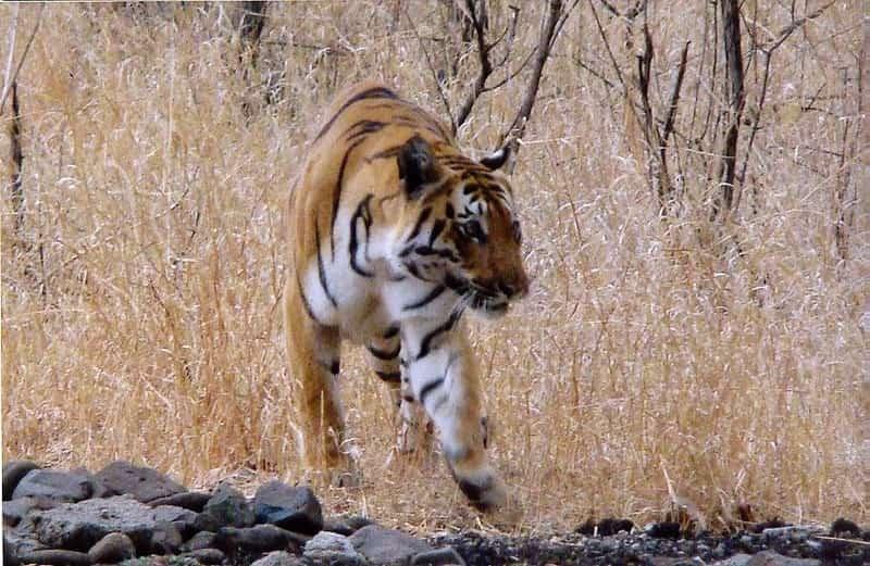 A tiger inside the Bor Wildlife Sanctuary