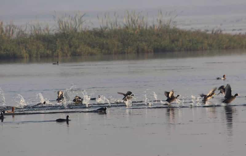 Birds in the Water at Nandur Madhmeshwar Bird Sanctuary