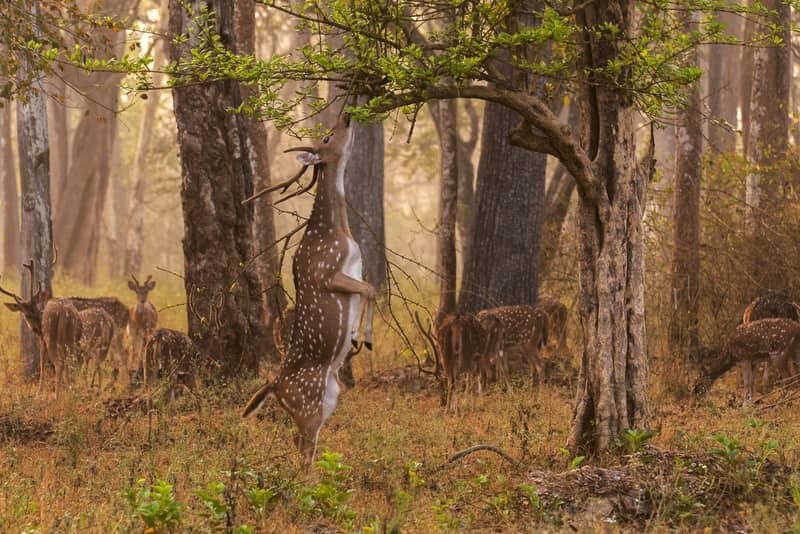 Deer at the Nagarhole National Park