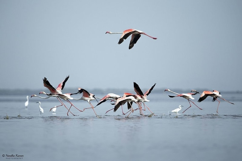 Flock of flamingos, Pulicat Lake
