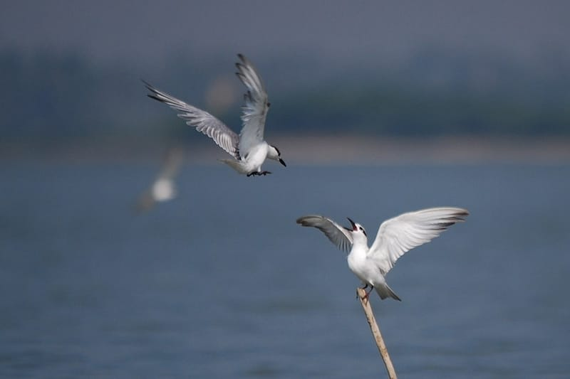 Gull-billed Terns at the Lagoon