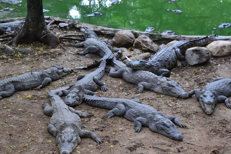 Madras Crocodile Park