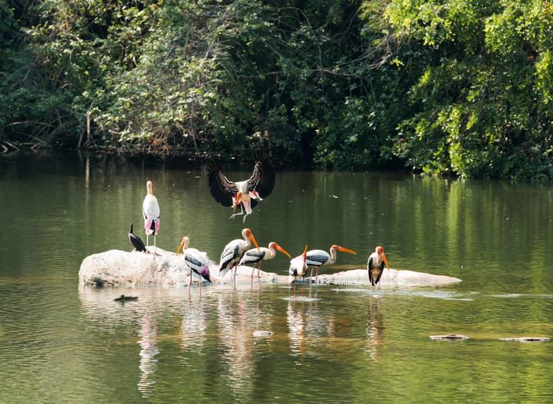 Painted Storks at Ranganathittu