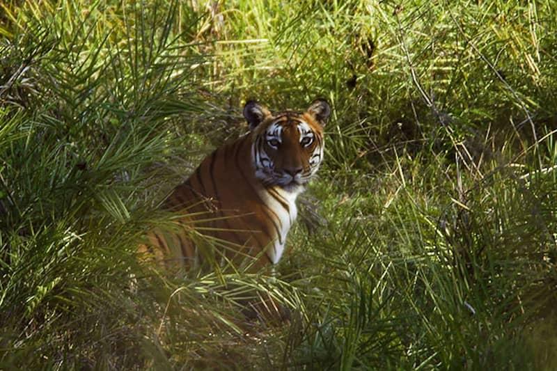Royal Bengal Tiger at the Bandipur National Park
