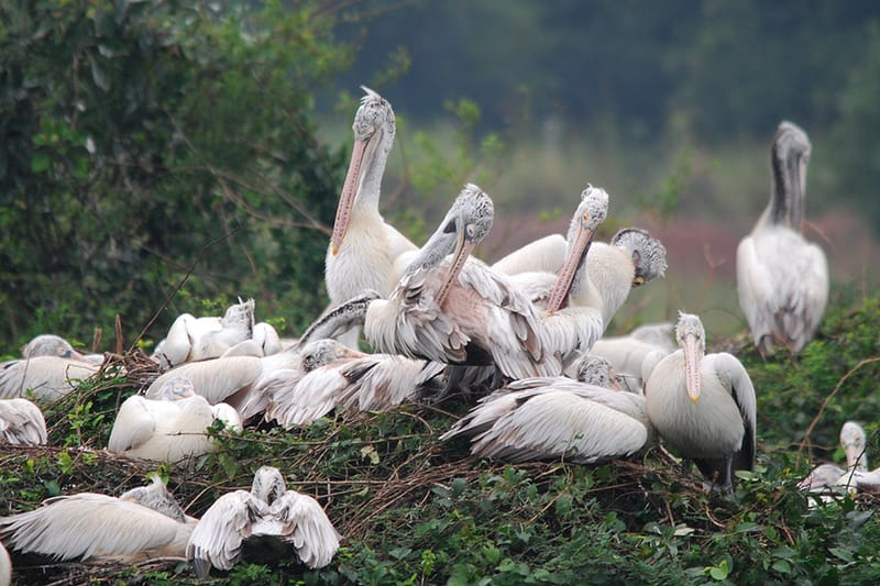 Spot-billed Pelicans at Nelapattu