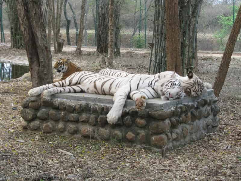 White Tigers Relaxing At Bannerghatta National Park