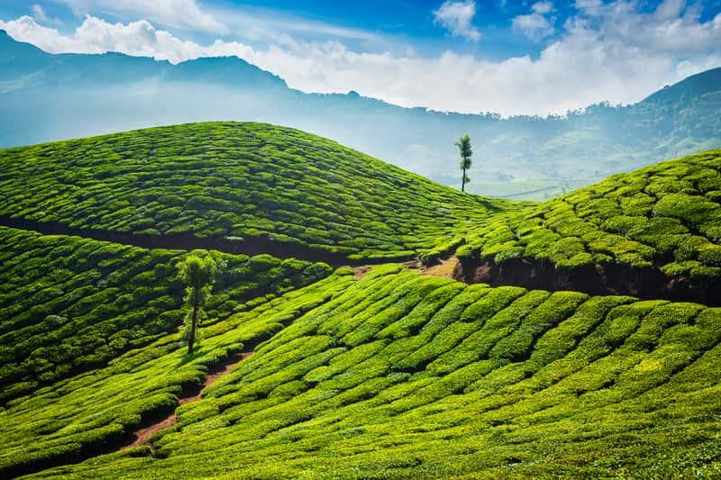 The beautiful tea gardens in Munnar