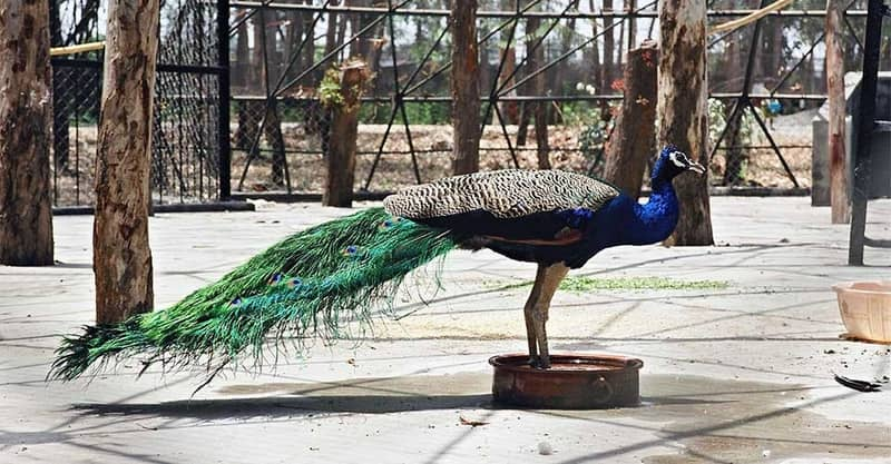 Peacock at Sarthana Nature Park