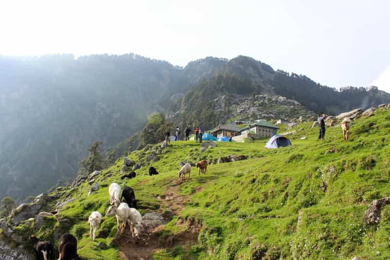 Sheep at the top of Triund