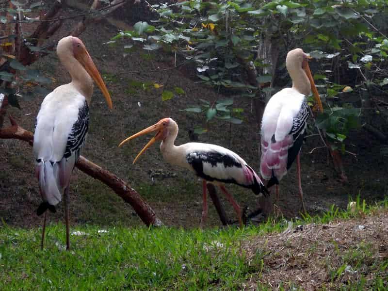 Storks at Indira Gandhi Park