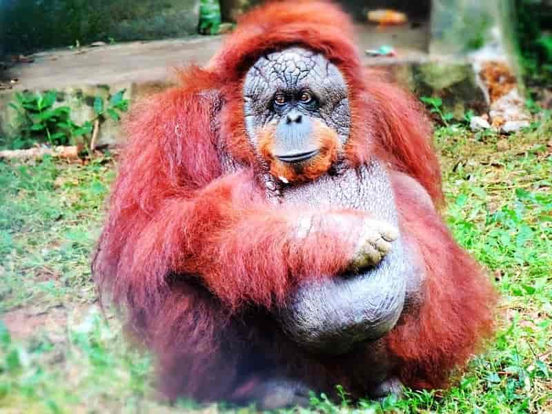 Orangutan at Nandankanan Zoological Park