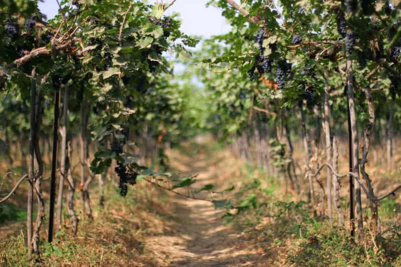 A walk through a vineyard in Nashik