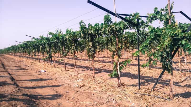 Vineyards in Nashik, Maharashtra