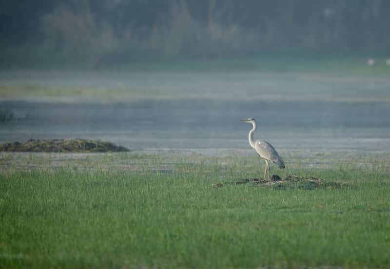 During winter, you can see exotic birds like the Grey Heron at the Sultanpur Bird Sanctuary