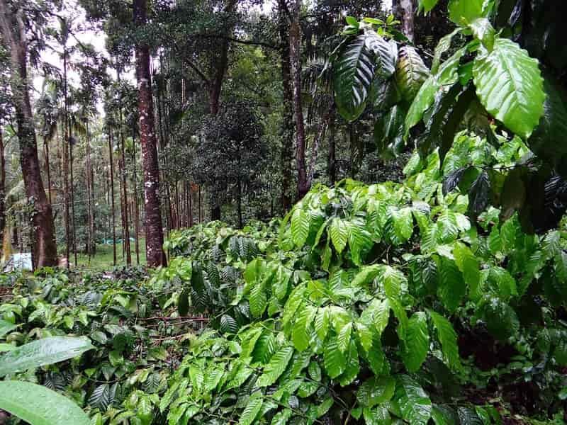 Robusta Coffee Plantation near Gonikoppa