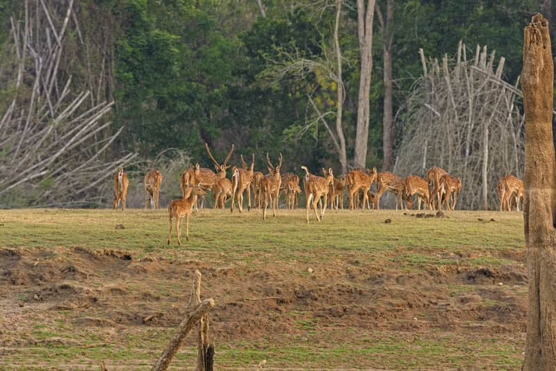 Spotted Deer at the Bandipur National Park