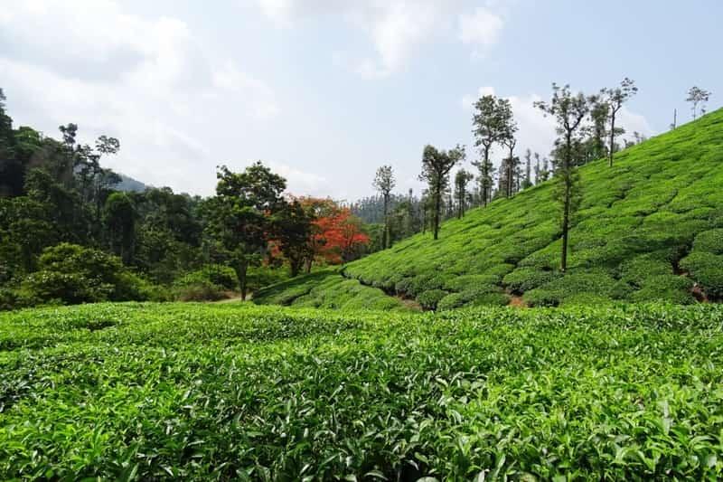 Tea Plantation at Chikilometresagalur: