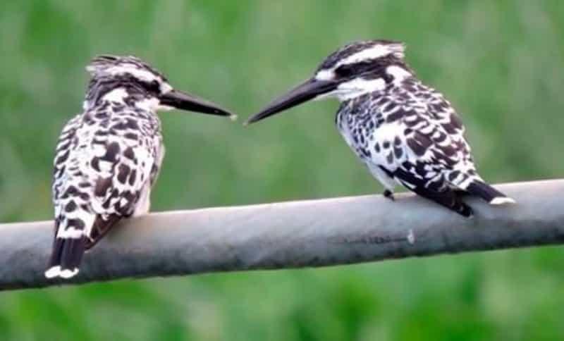 Kingfishers at Kanjli Wetlands